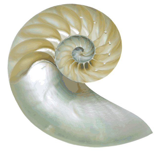 Image result for sea. Shell clipart nautilus