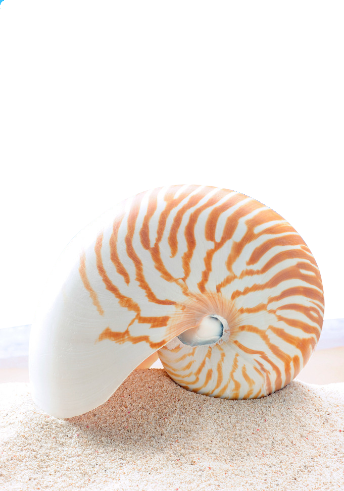 Shell clipart nautilus. Stock photography chambered clip