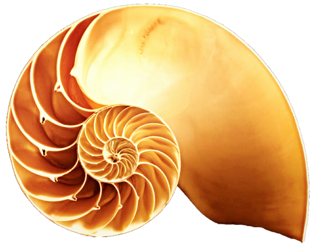 Orange snail cut in. Shell clipart nautilus