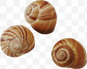 Common images png free. Shell clipart periwinkle