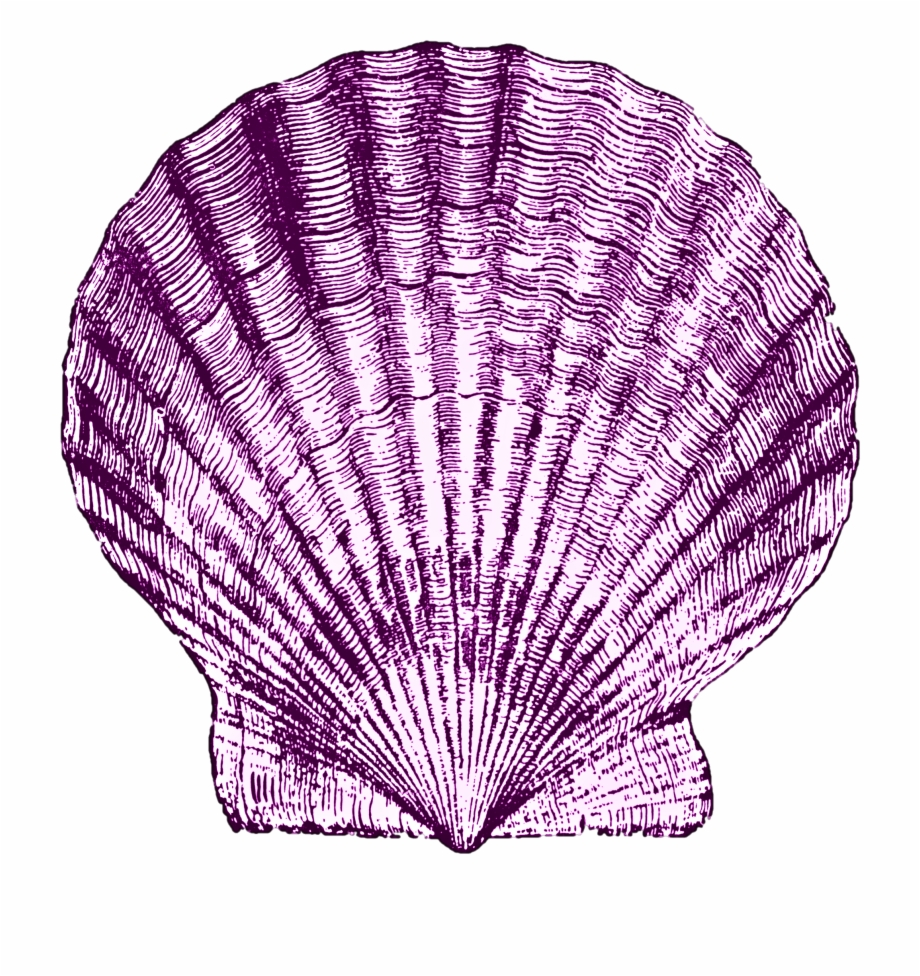 Art sea shells nautical. Shell clipart purple clipart