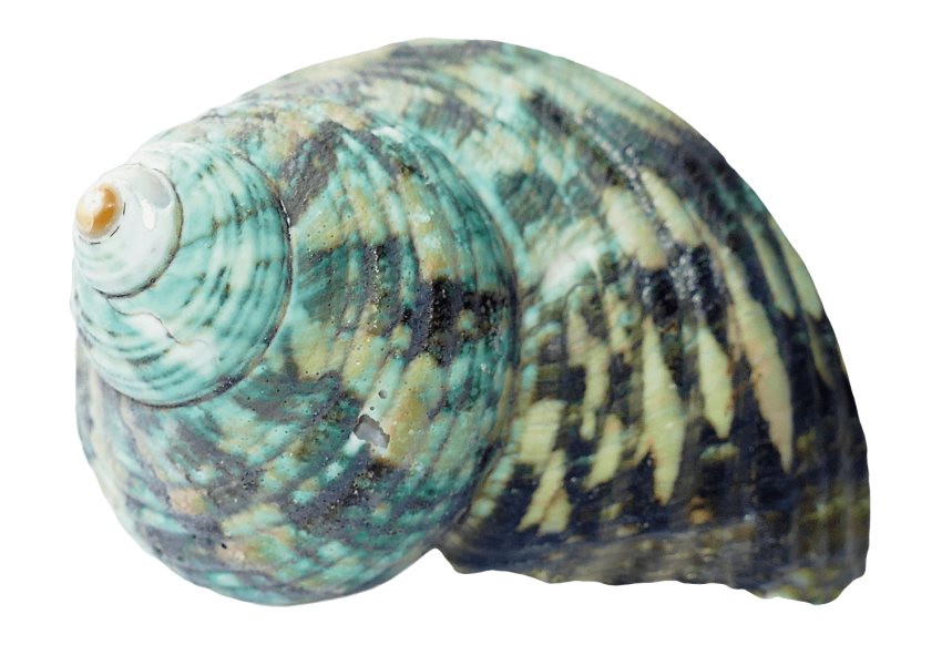 Shell clipart red sea. Ocean png free images