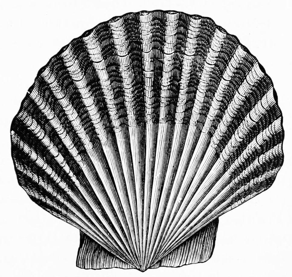 File psm v d. Shell clipart scallop symbol