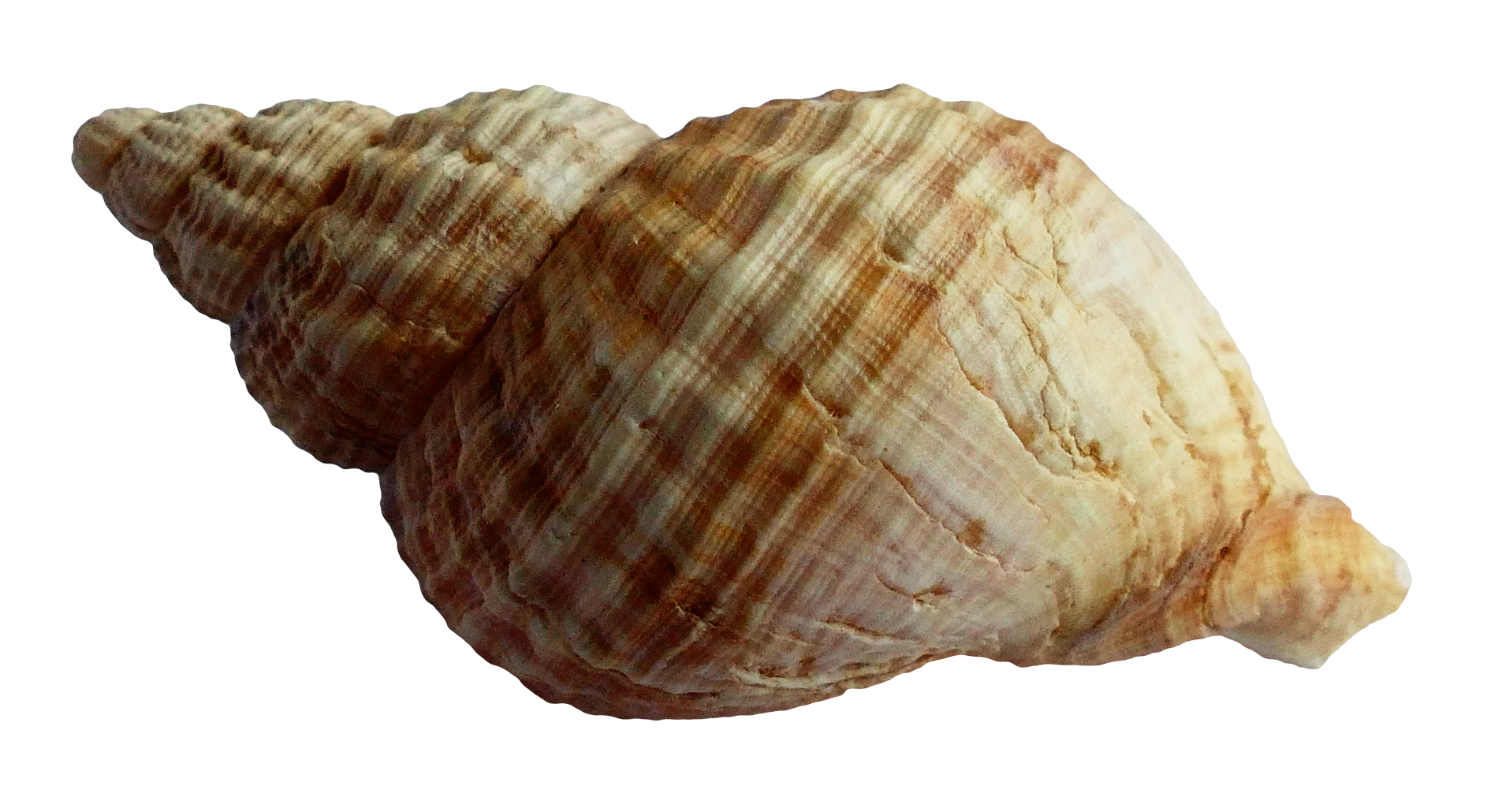Shell clipart shankh. Sea ocean png image