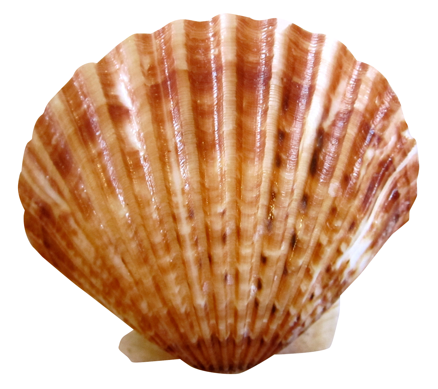 Shell clipart shell scallop. Sea ocean png image