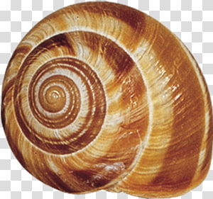 Shell clipart shell snail. Transparent background png cliparts