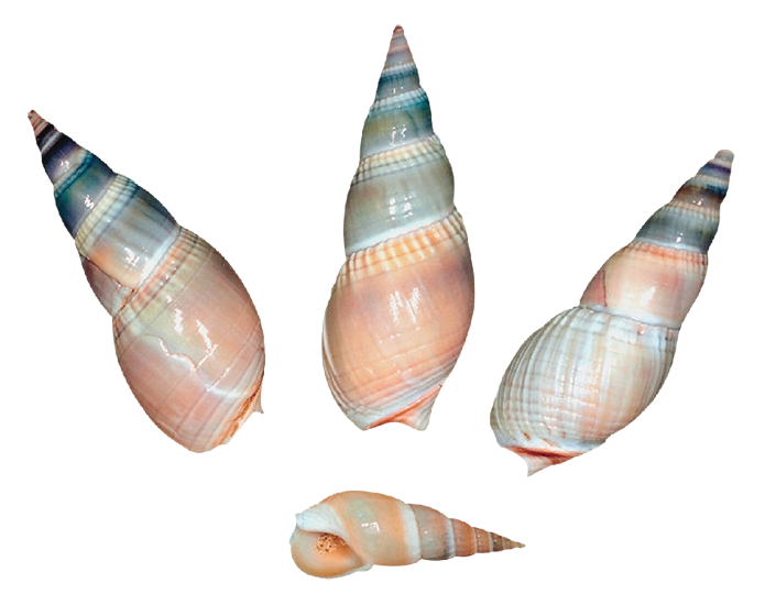 Sea shells png gallery. Shell clipart shell snail