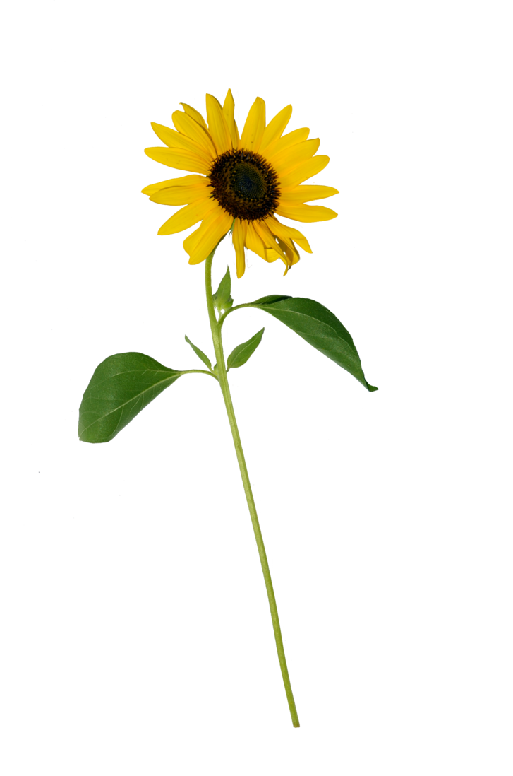 Single flower png. Sunflower stock copy by