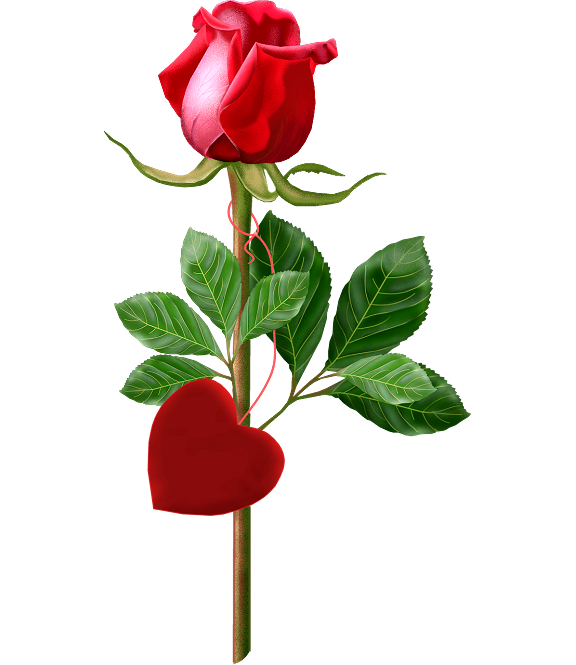 Single flower png. Valentine red rose pictures