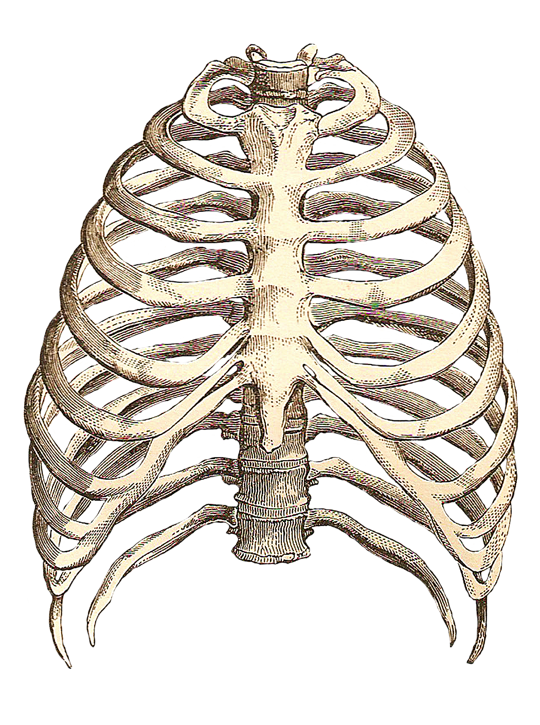 Human rib cage drawing. Skeleton clipart empty
