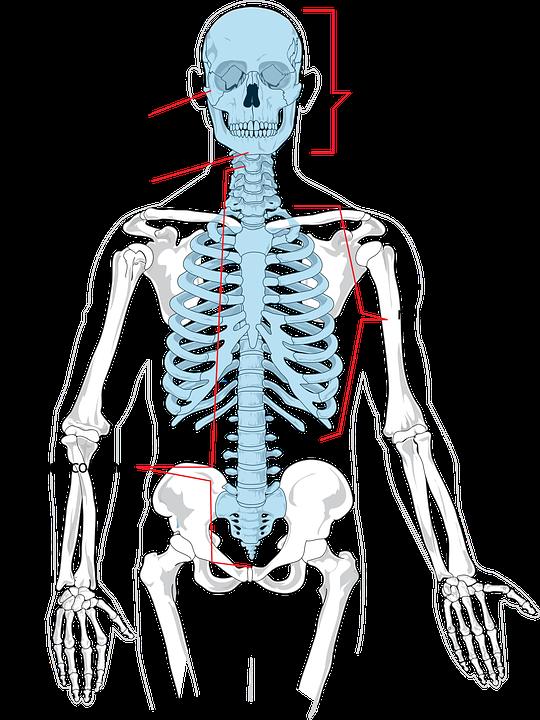 Skeleton clipart kid. Bones human science frames