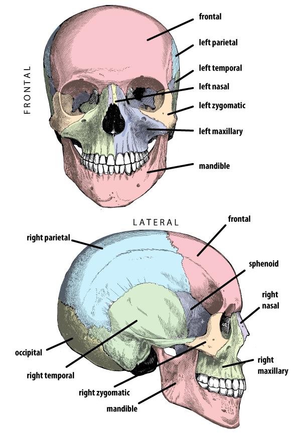 Anatomy of face bones. Skeleton clipart unlabelled