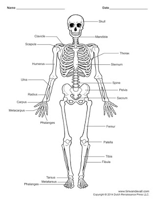 Free unlabeled printout . Skeleton clipart unlabelled