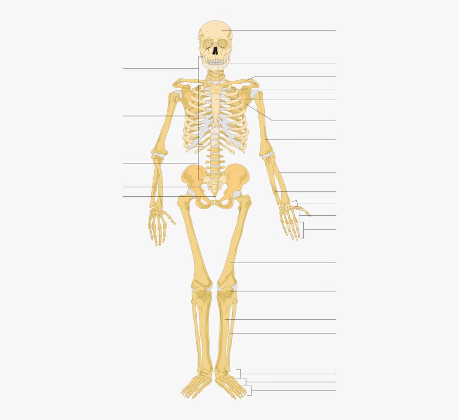 Skeleton clipart unlabelled. Human back cliparts