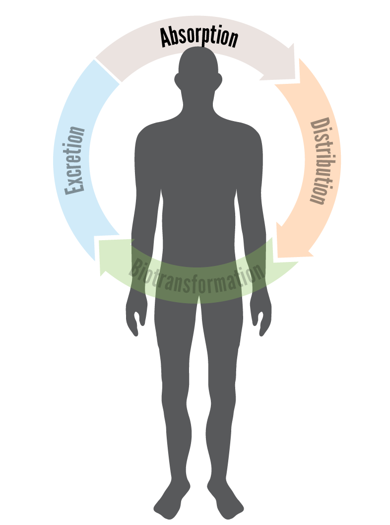 Skin clipart back body. Toxtutor introduction to absorption