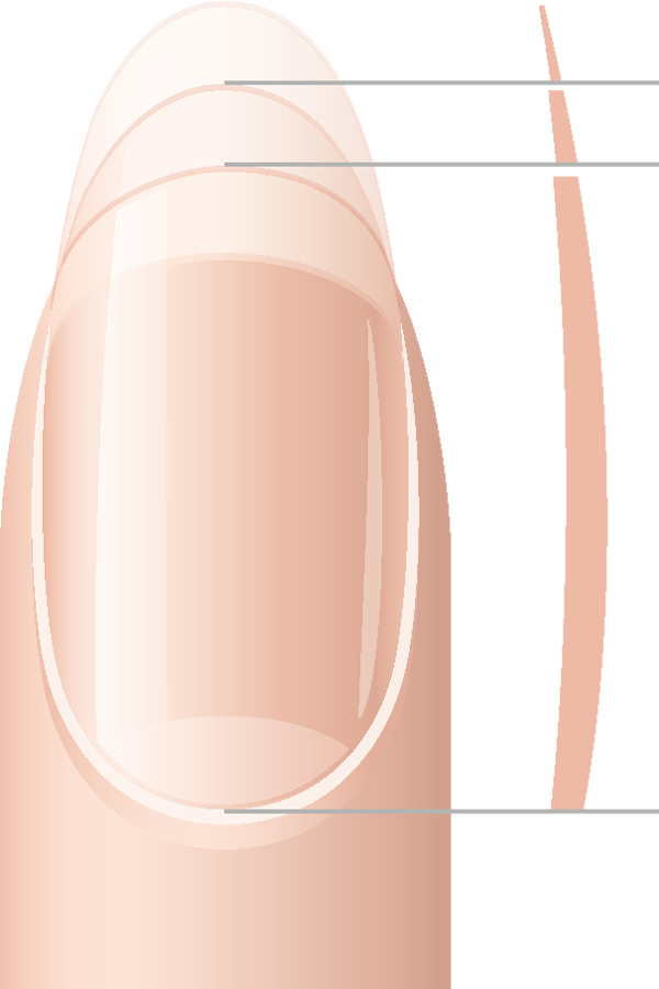 Skin clipart clean fingernail. Nails generalities the nail