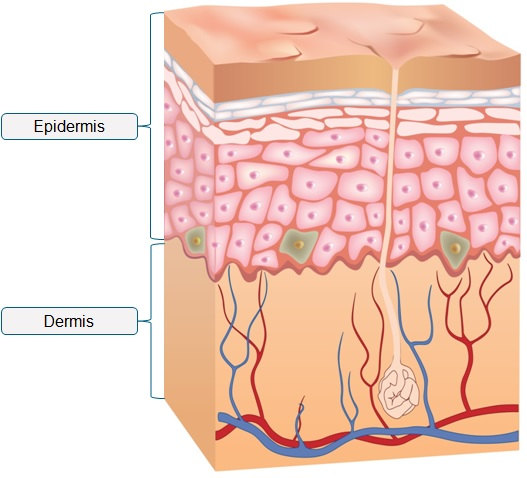 Skin clipart dermis. Why is the on