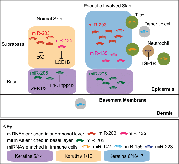 Skin clipart dermis. Localization of mirnas in