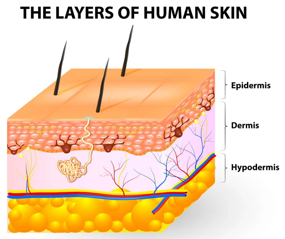 How does a lotion. Skin clipart dermis