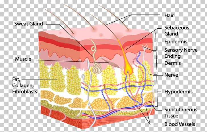 Skin clipart dermis. Human body hair follicle