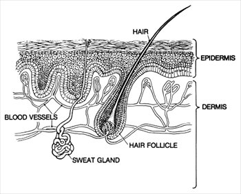 Free graphics images . Skin clipart epidermis