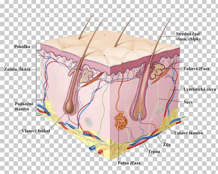 Human cell anatomy png. Skin clipart epidermis