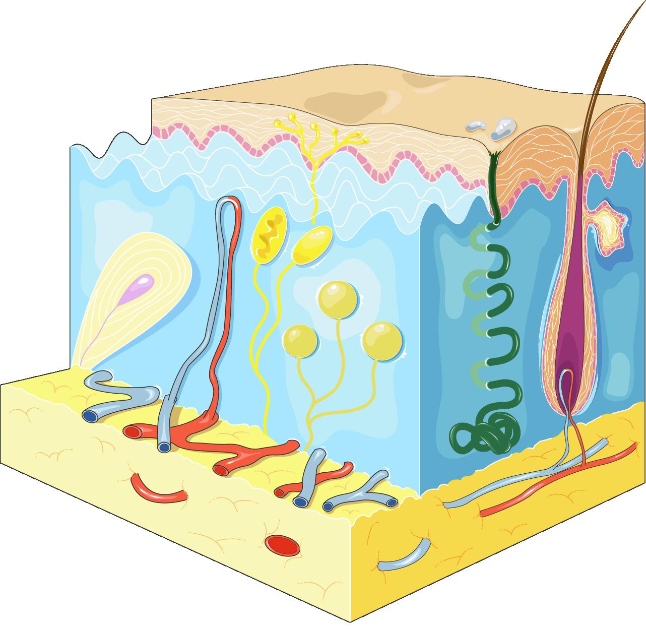 skin clipart epidermis #143120404