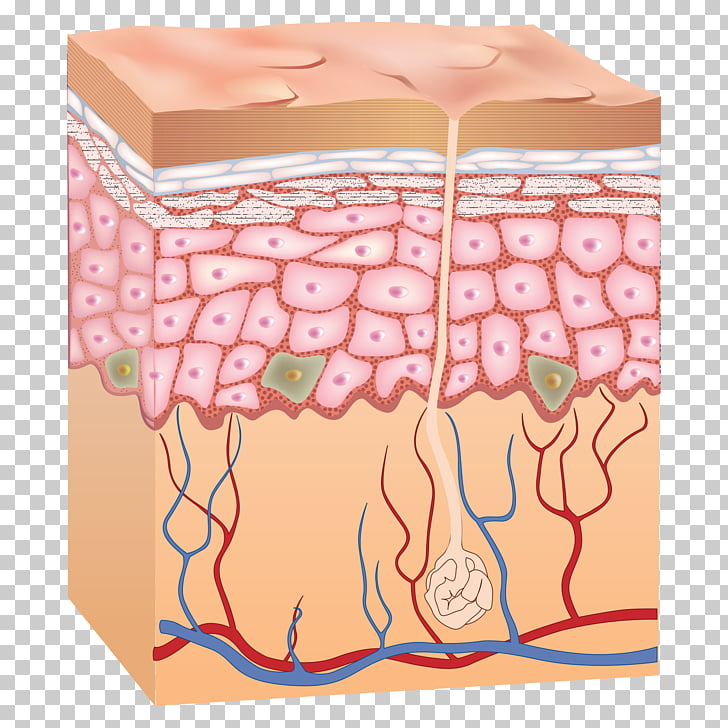 Human anatomy png free. Skin clipart epidermis