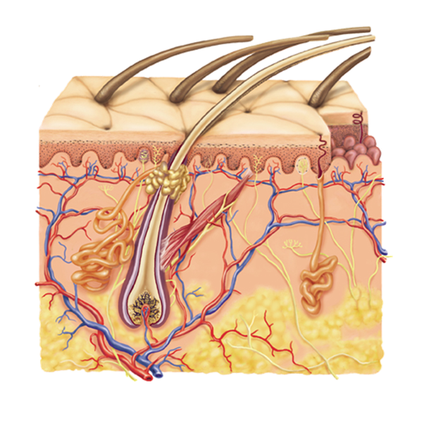 Skin clipart integumentary system. The chemistry within on