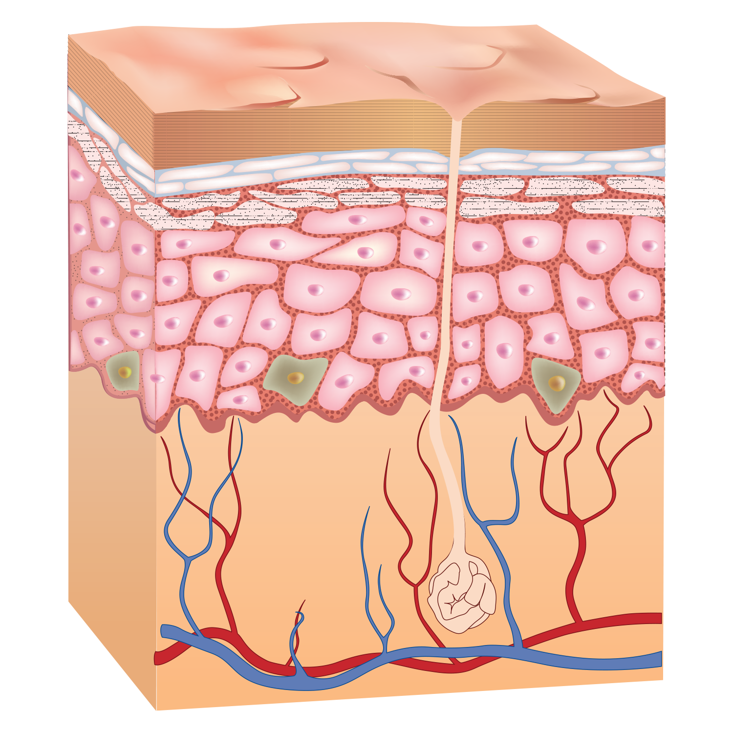Intergumentary on emaze the. Skin clipart integumentary system