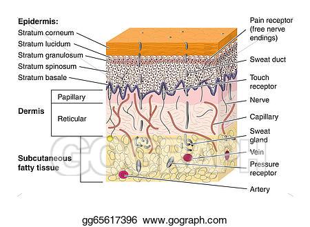 Vector cross section illustration. Skin clipart receptor