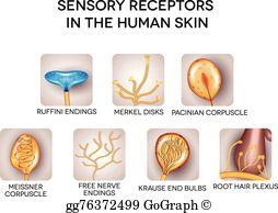 Skin clipart receptor. Receptors clip art royalty