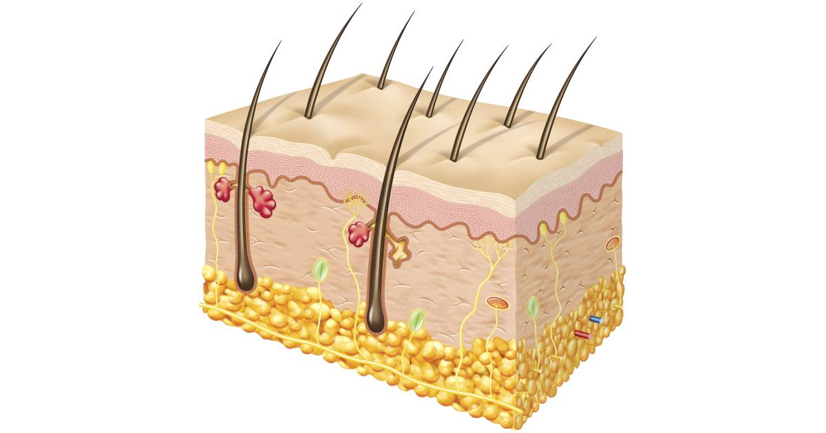 Skin clipart receptor. Sense of touch facts