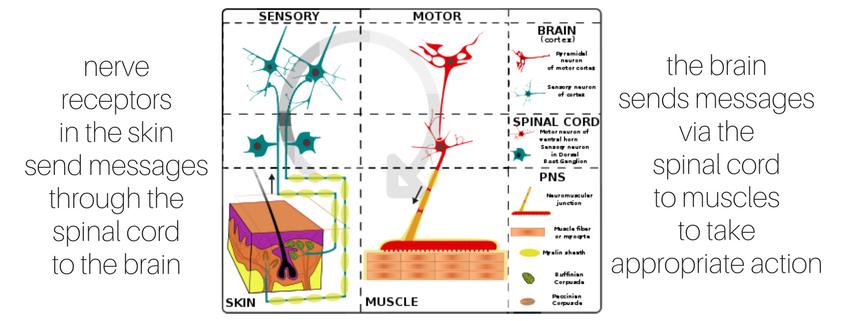 You ve got nerve. Skin clipart receptor