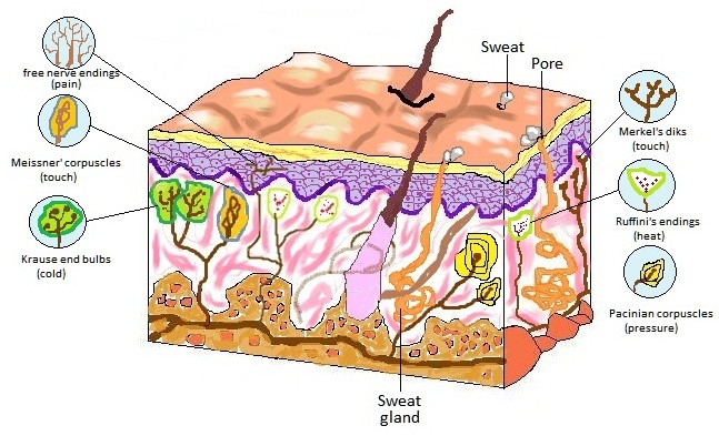 Bioxeocotobade licensed for non. Skin clipart receptor