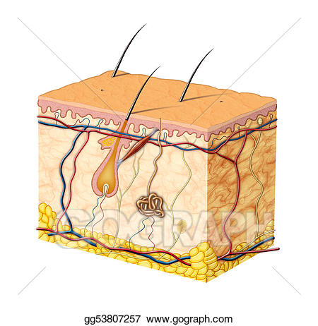 Stock illustration illustrations . Skin clipart skin anatomy