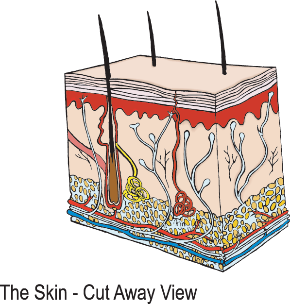 Innermost layer of the. Skin clipart skin diagram