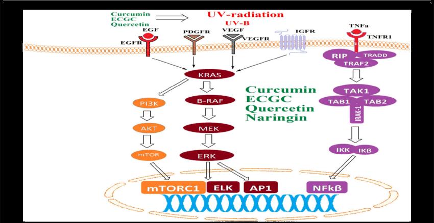 Role of anti oxidants. Skin clipart skin diagram