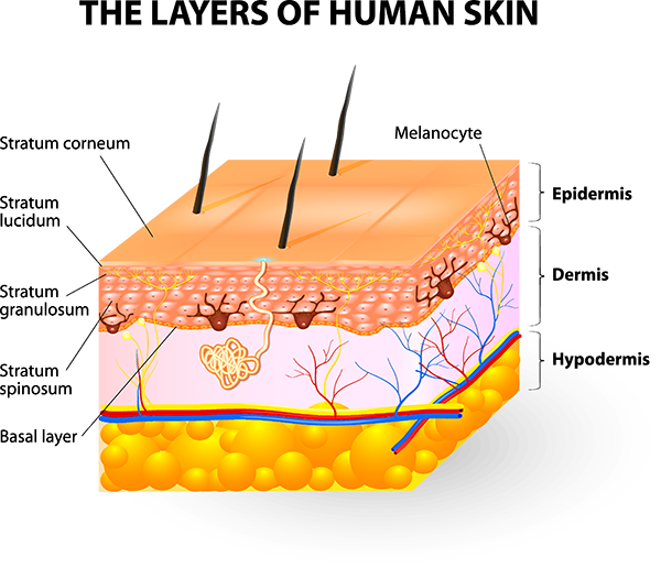 Anatomy of your dermatology. Skin clipart skin diagram