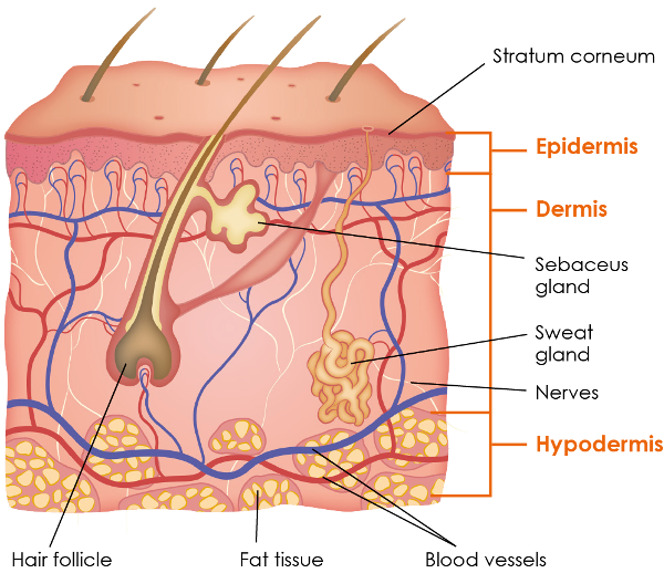 Physiology griffin row epidermis. Skin clipart skin diagram