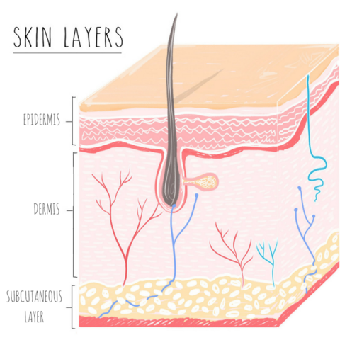 Skin clipart skin layer. Crucial biology that every