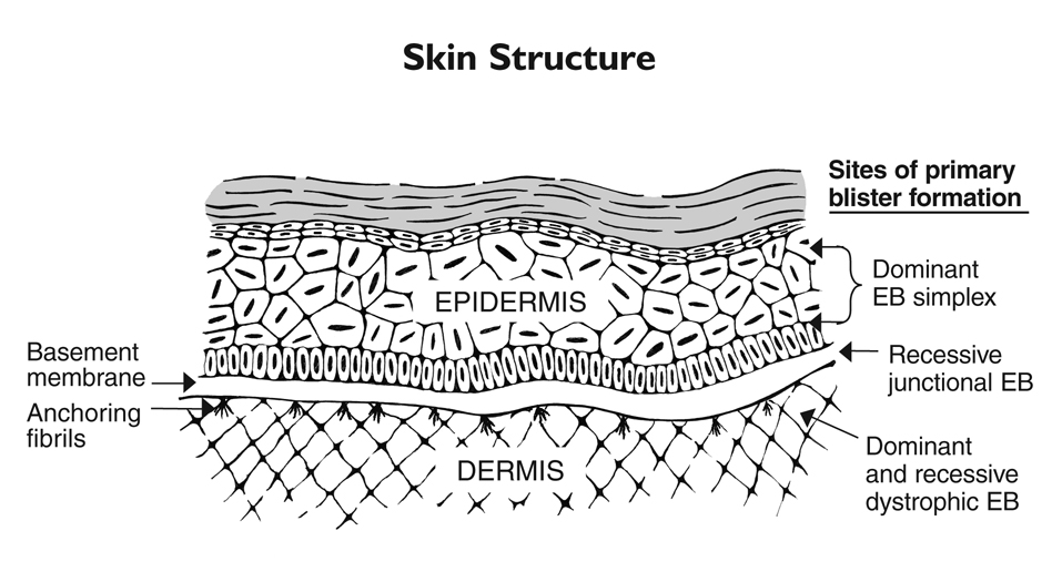 Skin clipart skin structure. Medical anatomy png html