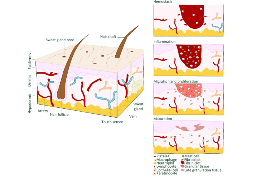 And wound healing phases. Skin clipart skin structure