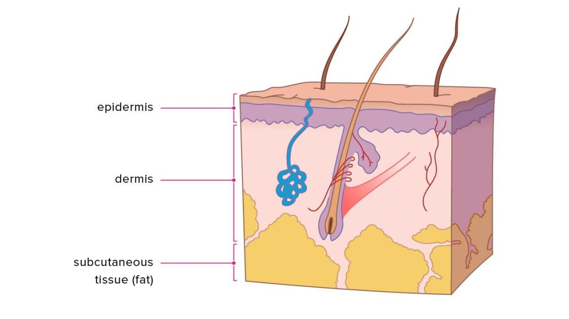 Layers of how many. Skin clipart skin tissue
