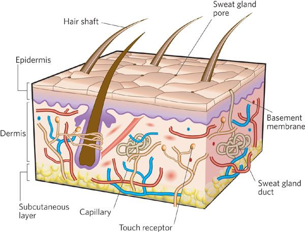 Skin clipart skin tissue. Progress and opportunities for