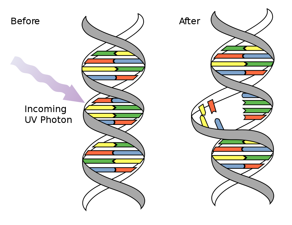 Skin clipart sun damage. Thatscienceguy dna by uv