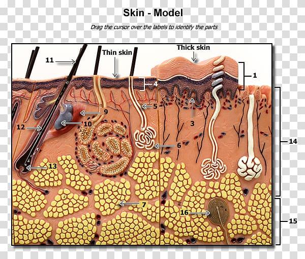 Skin clipart sweat gland. Sebaceous human integumentary system