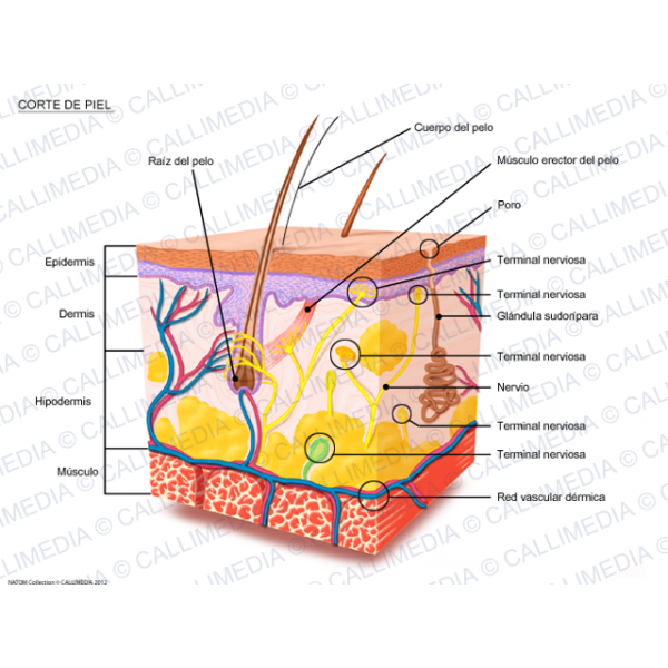 Section aesxs . Skin clipart sweat gland