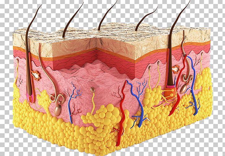 Human body epidermis png. Skin clipart sweat gland