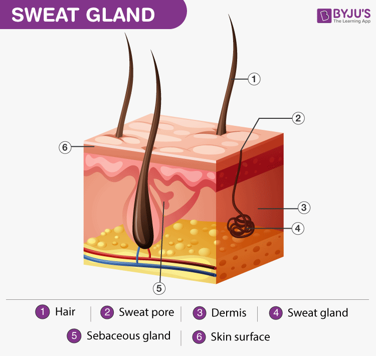 And hyperhidrosis causes facts. Skin clipart sweat gland